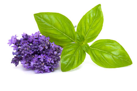 basil and lavender isolated on white background