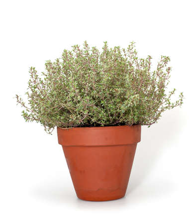 thyme in clay pot isolated on white background