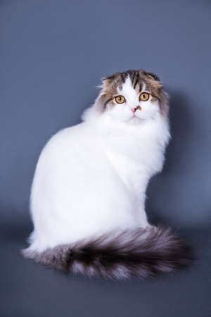 cute british cat sitting over grey background