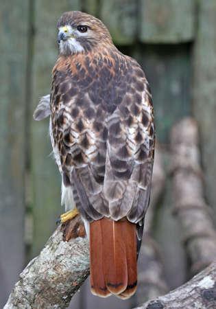 Beautiful Red tail hawk profile fierce hunter of pray