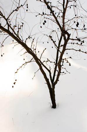 Foto per tree with minimal snow - Immagine Royalty Free