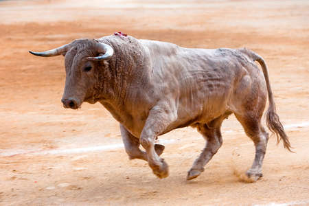 Bull color cinnamon galloping at a bullfight, Andalusia, Spain