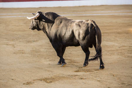 Baeza, Jaen province, SPAIN - 14 august 2014: Bull about 650 Kg galloping in the sand right when I just got out of the bullpen, in the Linares bullring, Linares, Jaen province, Andalusia, Spain