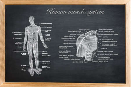 didactic board of anatomy of human bony and muscular system