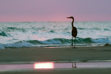 Silhouette of Blue Heron at the Beach at sunset
