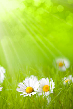 Photo for Summer flowers - daisy on green background - Royalty Free Image