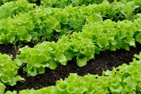 Photo for Lettuce Bed - Royalty Free Image