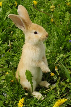 Cute Rabbit Standing on Hind Legs