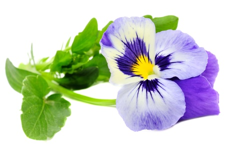 Pansy Violet Isolated on White Background