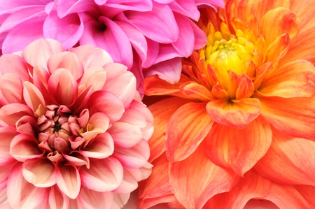 Bouquet of Beautiful Multicolored Dahlia Flowers Close-up