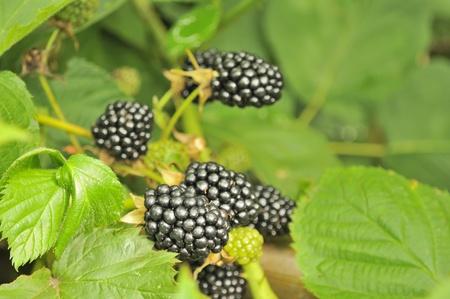 Blackberries Growing on Bush