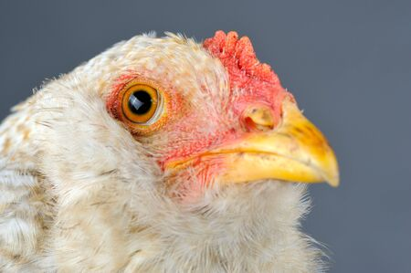 Young Chicken Head Close-Up