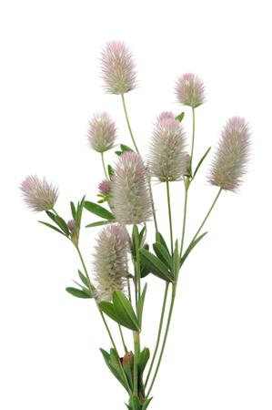 Haresfoot Clover or Trifolium Arvense on White Background