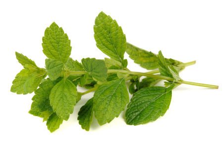 Lemon Balm or Melissa Officinalis Isolated on White Background