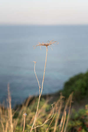 Detail dry grass and sea and ocean as background, field on natural background in morning. Outdoor