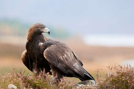 Foto per Golden Eagle - Immagine Royalty Free