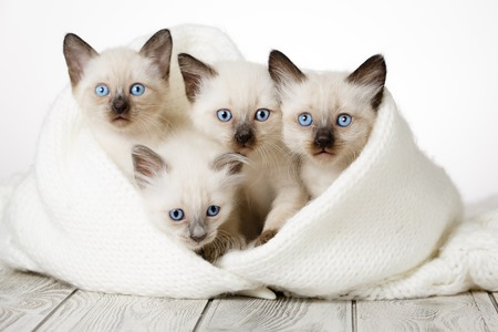 Photo pour Cute kittens on a wooden white background in a cozy blanket. Fluffy kittens - image libre de droit