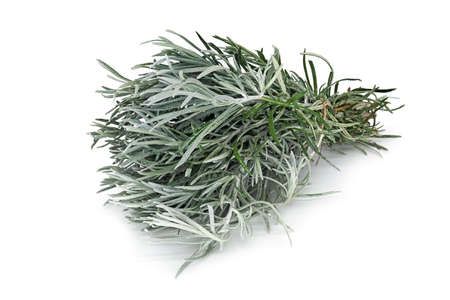 Photo for Rosemary, close up of scented herb on white background - Royalty Free Image