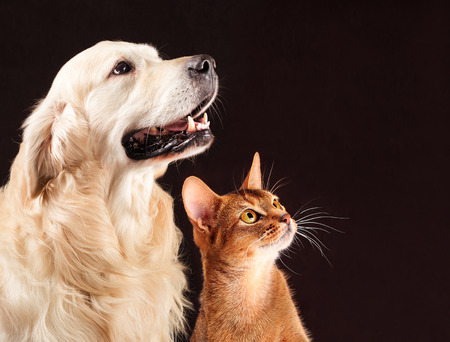Foto de Cat and dog, abyssinian kitten and golden retriever looks at right. - Imagen libre de derechos