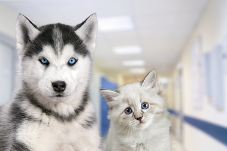 Foto de Pets at the veterinary clinic. Dog and cat in front of the blurred hospital background. - Imagen libre de derechos