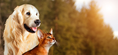 Foto de Cat and dog, abyssinian cat, golden retriever together on peaceful autumn nature background. - Imagen libre de derechos