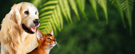 Foto de Cat and dog, abyssinian cat, golden retriever together on natural green background. Nice concept for represent healthy food or vitamins for pets. - Imagen libre de derechos