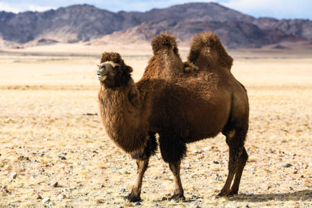Foto de Steppe camel in the foothills of Western Mongolia. - Imagen libre de derechos