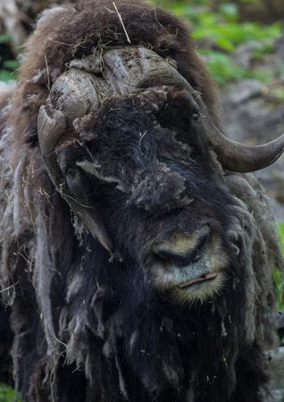 Close-up of muskox head looking forward