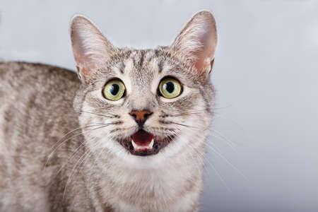 cat meows gray tabby Shorthair