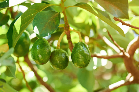 Foto für Group of avocado hang on tree close-up. Avocado green plant - Lizenzfreies Bild