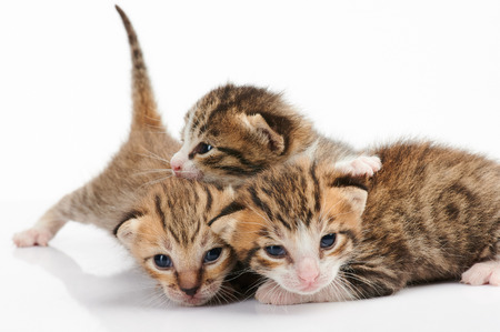 Photo pour Group of kitty play isolated on white background - image libre de droit