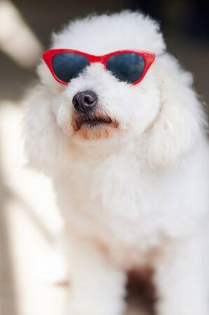 Photo pour Curios poodle in sunglasses portrait close up view - image libre de droit