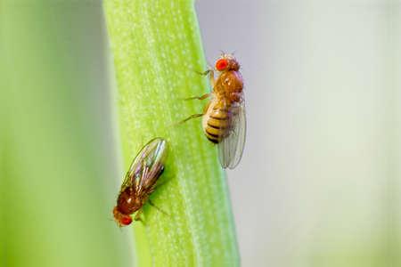 Photo pour Twosome fruit flies sitting on of grass with green foliage background - image libre de droit