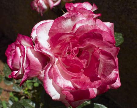 roses natural bunch closeup,