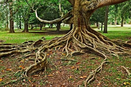 Tropical tree roots. Sri Lanka