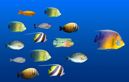 Photo pour Leadership concept - big fish leading school of tropical fishes isolated on white - image libre de droit