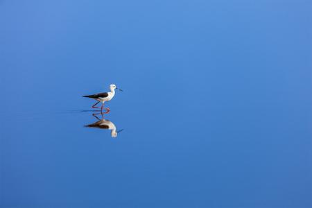 Solitude concept background -  The Black-winged Stilt ( Common Stilt, or Pied Stilt (Himantopus himantopus)) in water with reflection