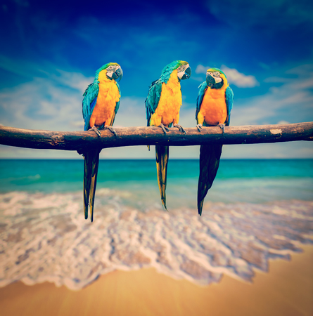 Vintage retro effect filtered hipster style image of tropical vacation concept three parrots Blue-and-Yellow Macaw Ara ararauna also known as the Blue-and-Gold Macaw on tropical beautiful beach and  sea