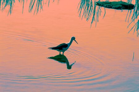 Black-winged stilt: Fairly common to locally common in warmer regions.