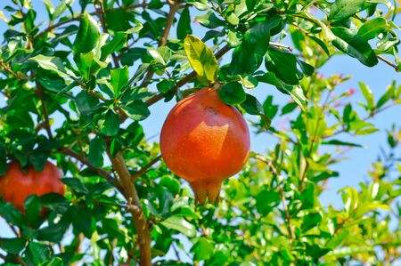 Photo pour Ripe Colorful Pomegranate Fruit on Tree Branch. The Foliage on the Background   - image libre de droit