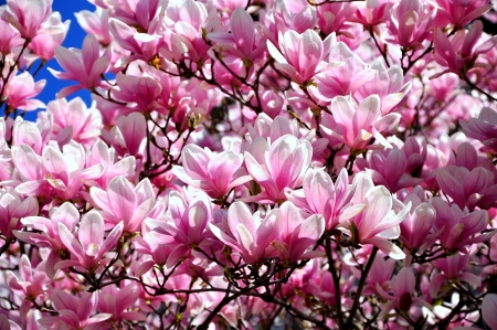 Magnolias In Bloom