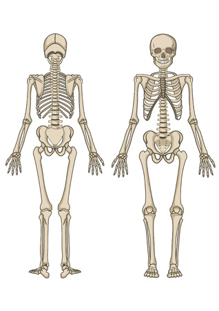 Illustration pour Human skeleton, bone, anatomy, biology and skull - image libre de droit