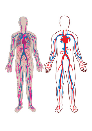 Diagram of the human vein and anatomy