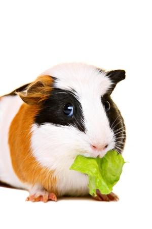 Photo pour Cute guinea pig eating salad - image libre de droit