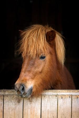 Icelandic horse against black background
