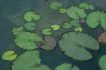 Photo pour Leaf of lotus flower. close up - image libre de droit