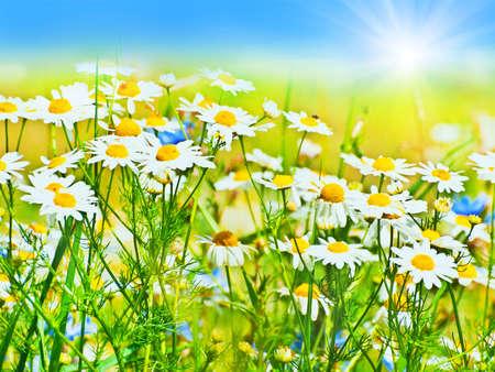 sunny daisy field