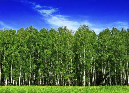 birch forest edge