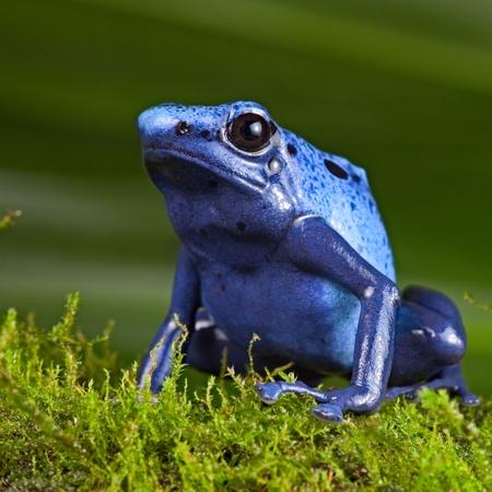 blue poison dart frog, poisonous animal of Amazon rainforest in Suriname, Endangered species kep as exotic pet in rain forest terrarium, jungle amphibian