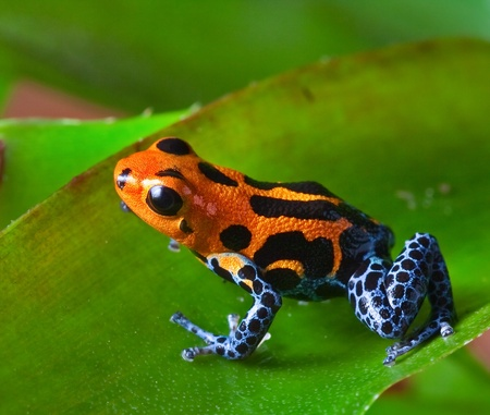 red poison dart frog sitting on green leaf in amazon rain forest of Peru exotic poisonous animal with warning colors rainforest Dendrobates, ranitomeya imitator